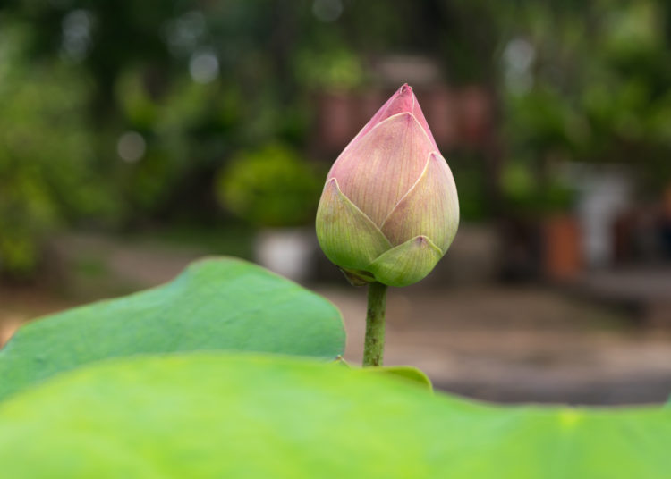 Lotus waterlily flower pink green color, Naturally beautiful plant in the garden