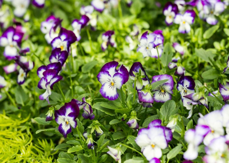purple and white viola flower in field,close up