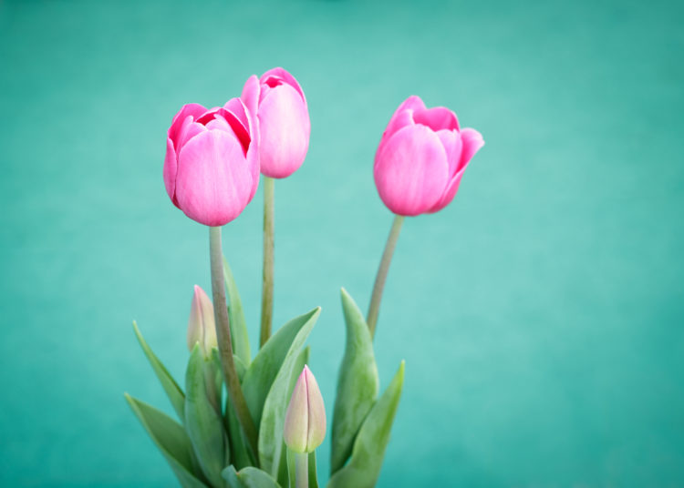 Pink tulip on a green background, edible flowers