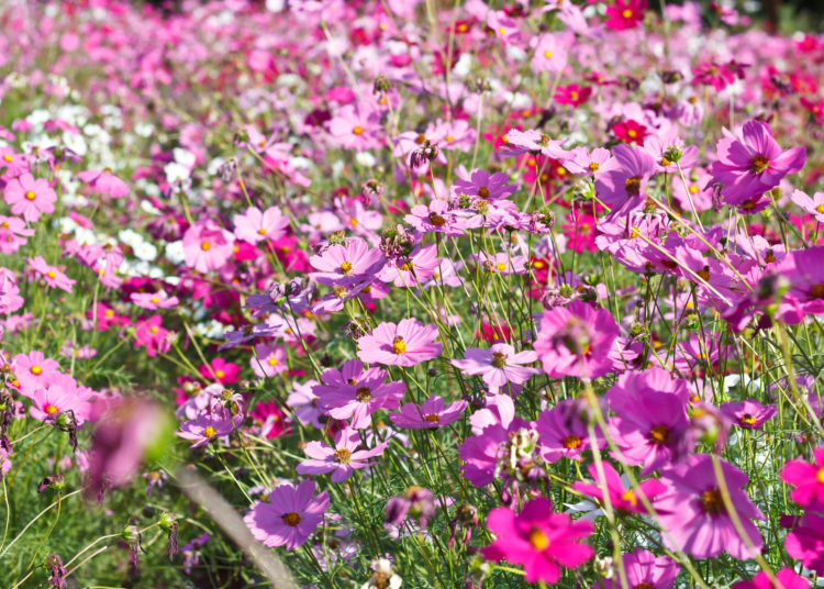 cosmos flowers on flower garden.