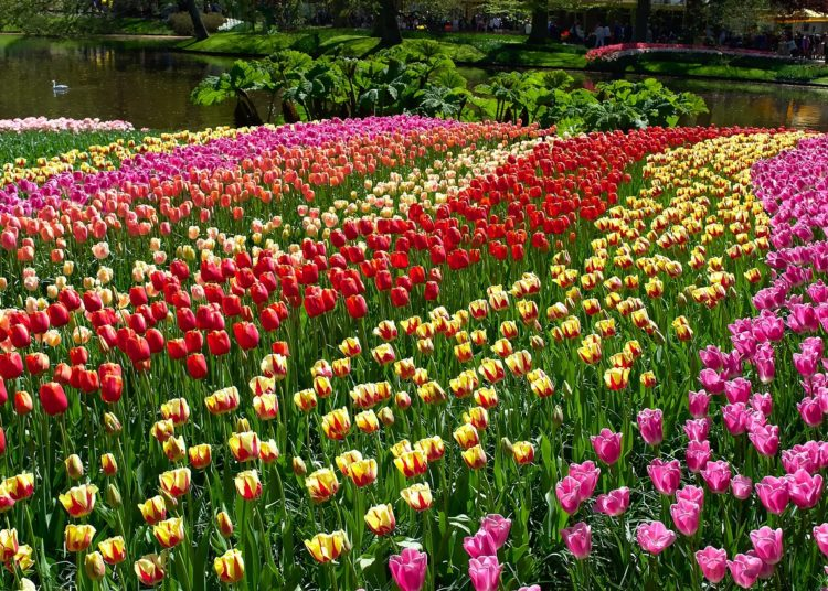 Beautiful and colourful tulips