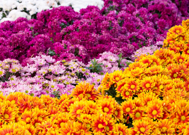 chrysanthemums daisy flower fields blooming in the garden