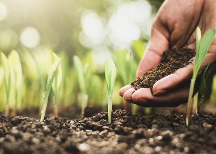 Seedlings of corn.
