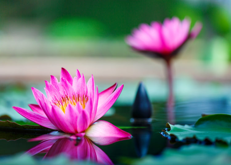 beautiful lotus flower on surface of pond