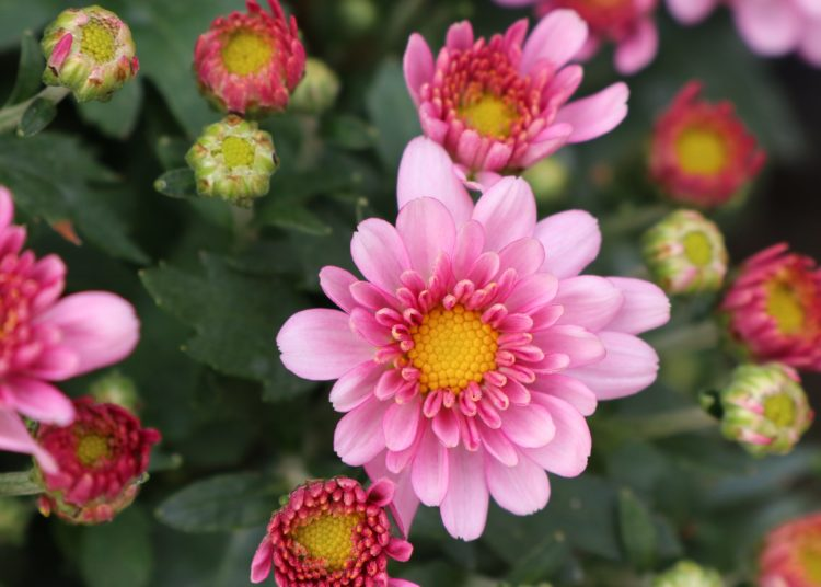 Pink chrysanthemum flower in tropical