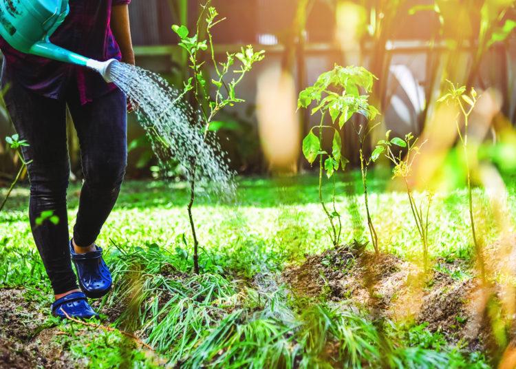 women use watering allium tuberosum and chilli tree in kitchen garden.